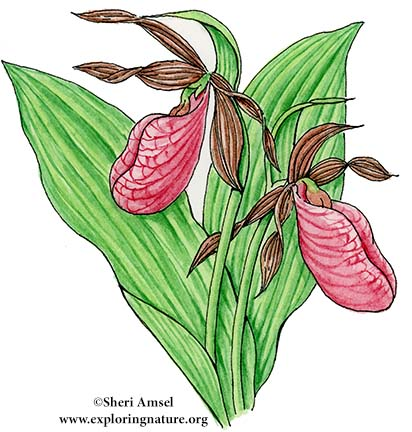 Lady Slipper (Pink)