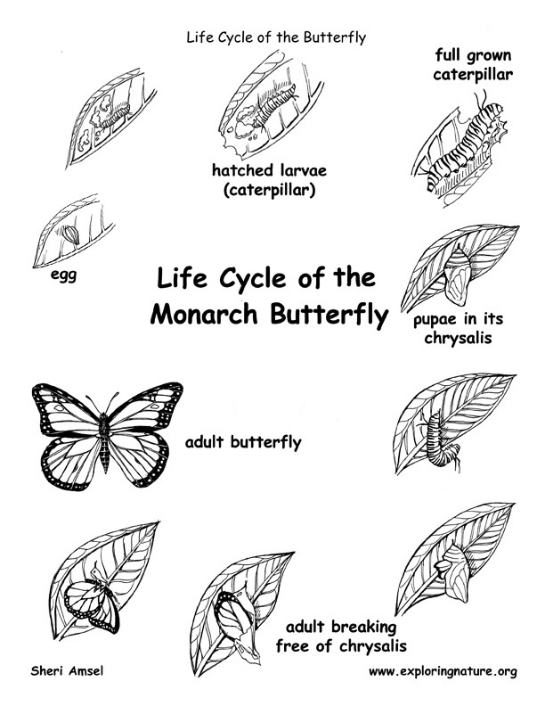 Butterfly Life Cycle Printable Pictures to Pin on Pinterest