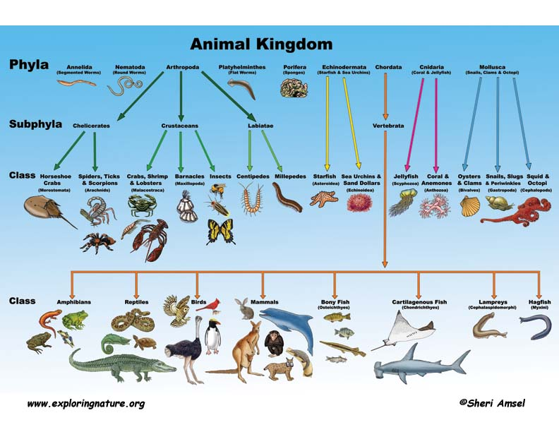 an analysis of different types and classes of tigers in the animal kingdom To kill their prey, tigers will clamp down on the animal's neck with their jaws and suffocate the animal  the taxonomy of tigers, according to itis, is: kingdom  superclass: tetrapoda class .