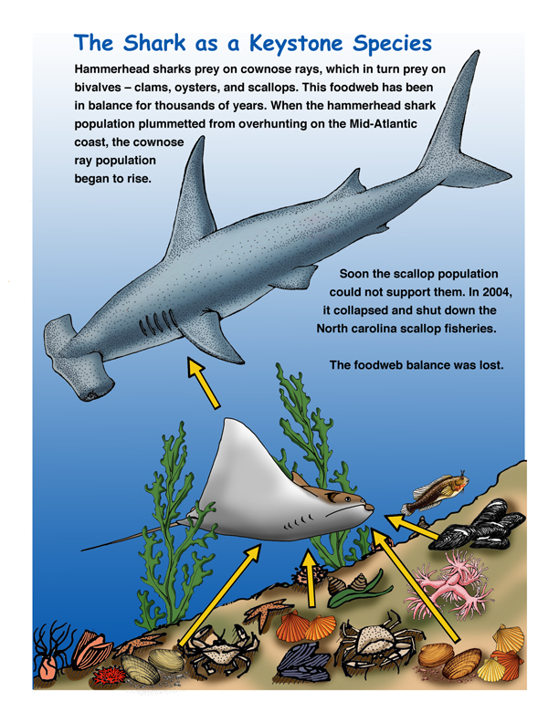an overview of the characteristics of different shark species Physical characteristics the sandbar shark is a essential habitat for this species need to designate several different habitats for species overview.