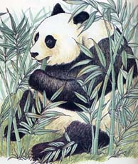 Endangered Species - The Giant Panda