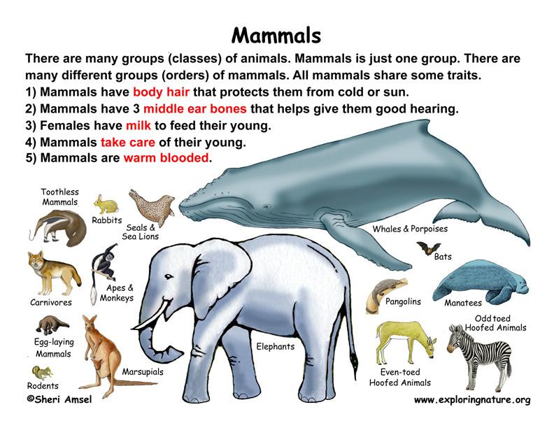 Class - Mammals (Grade...