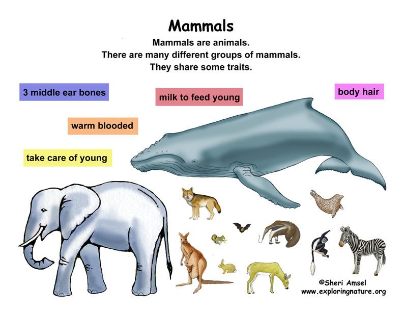 Class - Mammals (Grade K-3)