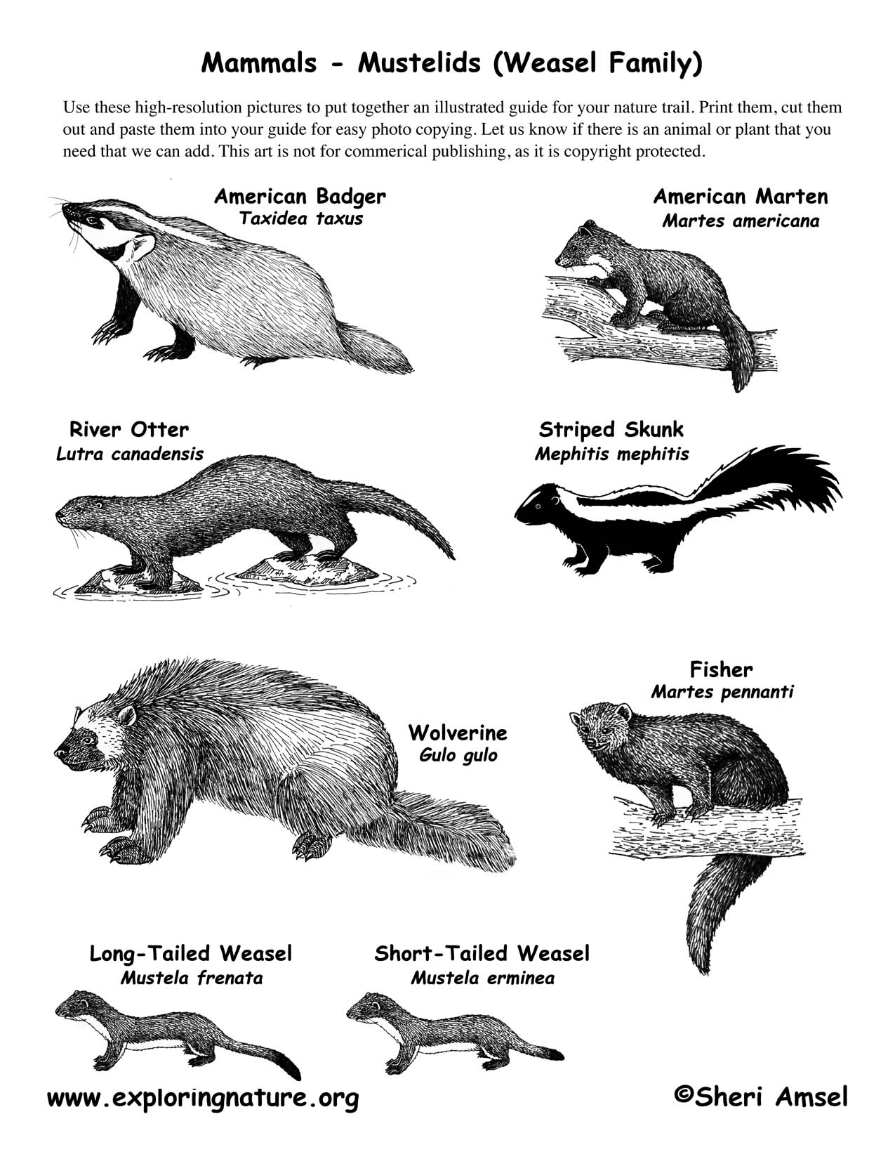 Mammals From the Weasel Family Mustelids