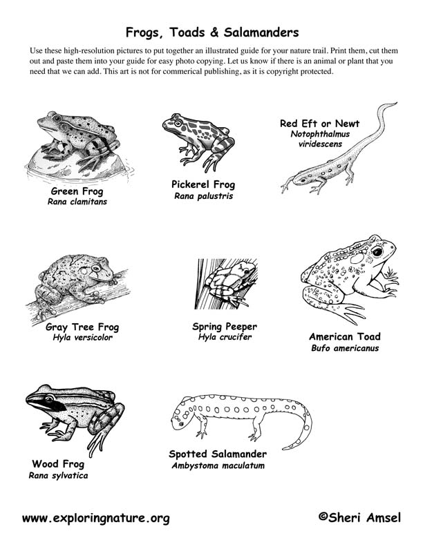 Amphibians - Frogs, Toads & Salamanders