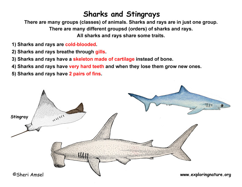 Class - Sharks & Rays - Cartilaginous Fishes (Grade K-2)