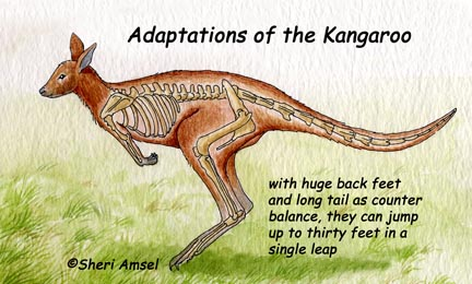 Is it true that Kangaroos can't walk backward?