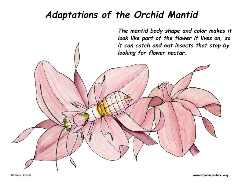 Adaptations Of The Orchid Mantis