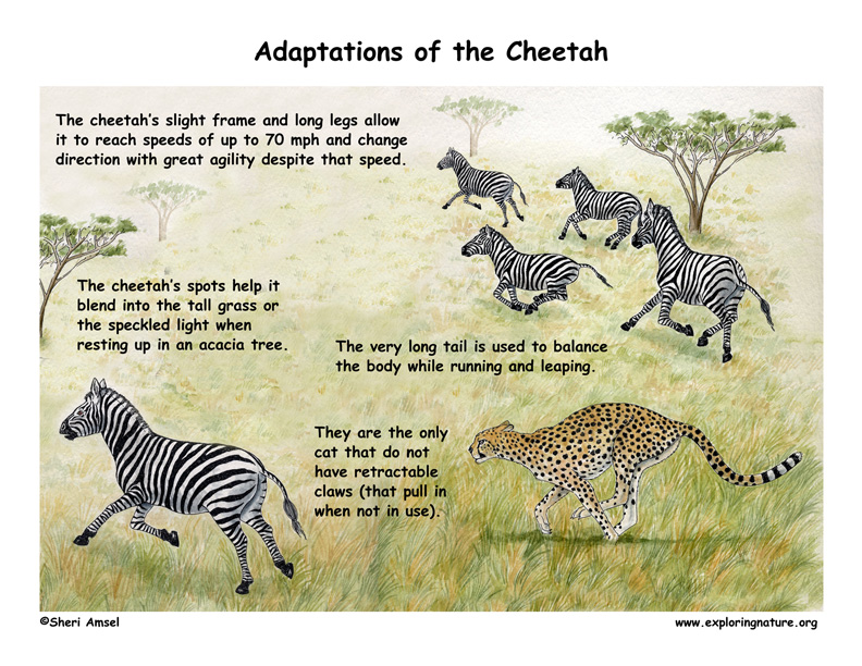 Adaptations Of The Cheetah