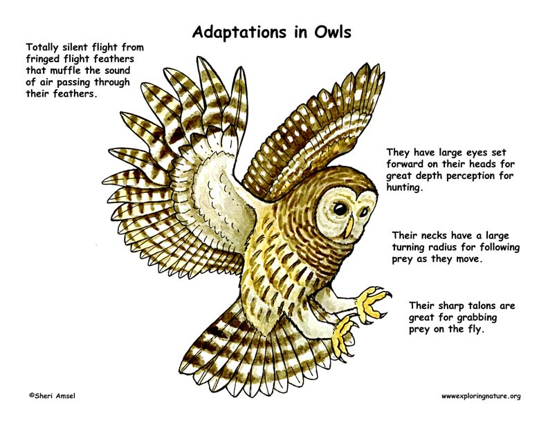 Adaptations of the Owl