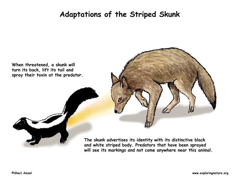 A skunks adaptations