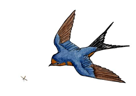 Adaptations of the Barn Swallow