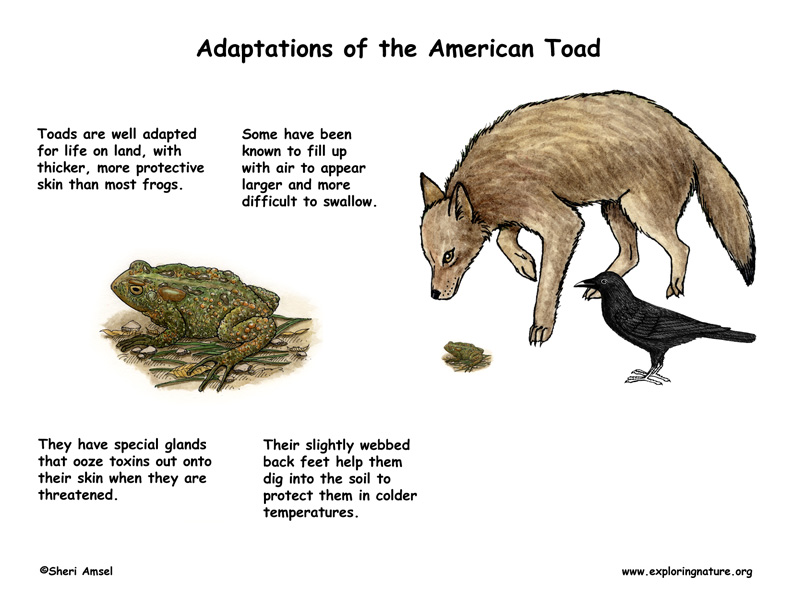 animal adaptation - photo #48