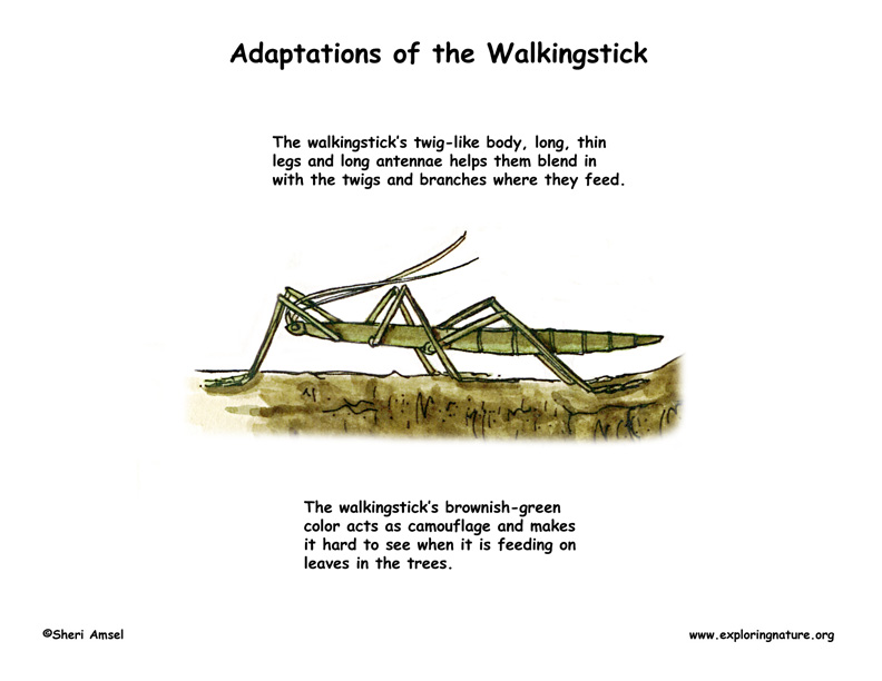 Adaptations of the Walkingstick