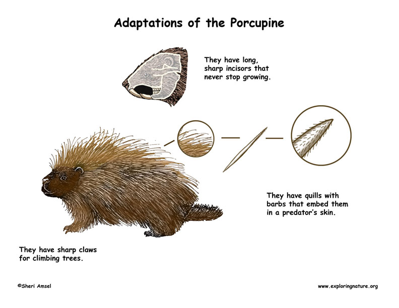 Adaptations of the Porcupine