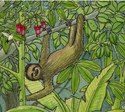 Adaptations of the Three-toed Sloth