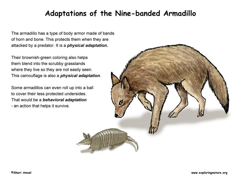Adaptations of the Armadillo