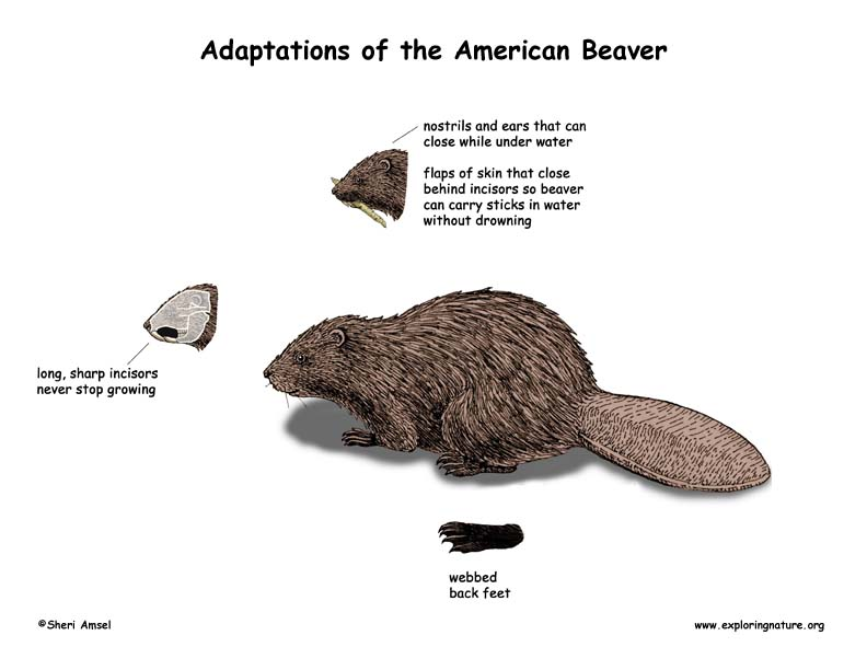 Adaptations of the Beaver