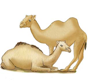 Adaptations of the Camels