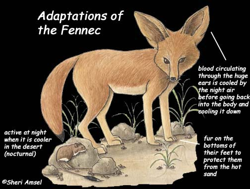 adaptation of the fennec fox to the desert The fennec fox is the smallest of all the fennec foxes dwell in the sandy sahara desert and elsewhere in and some physical adaptations help as.