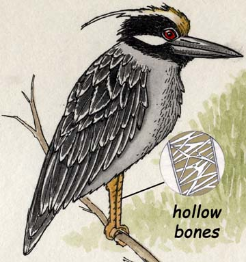 <p>How Many Bones are There in a Bird's Body?</p>