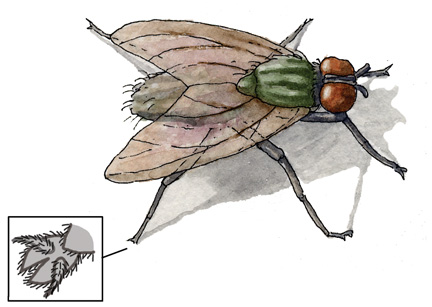 Adaptations of the Housefly