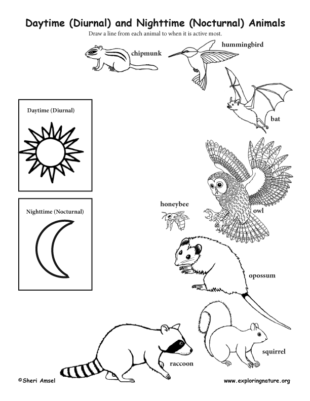 Daytime (Diurnal) and Nighttime (Nocturnal) Animals Activity