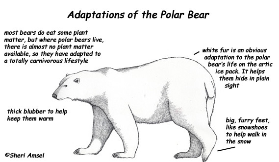 labeled diagram of polar bears wiring diagram and fuse box Polar Bears Are Black Brown Bear and Polar Bear