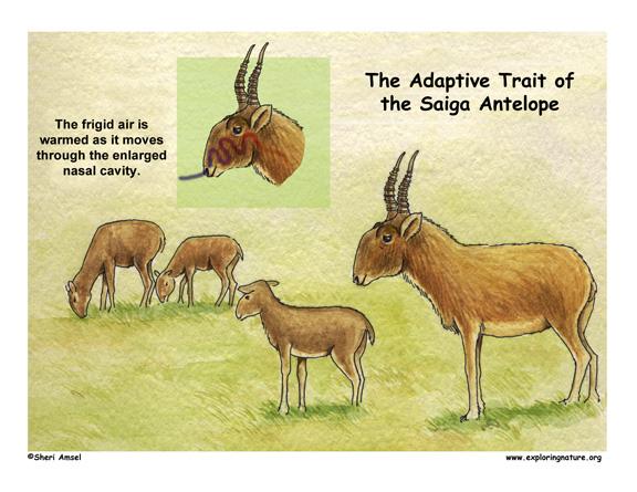 Adaptations of the Saiga Antelope