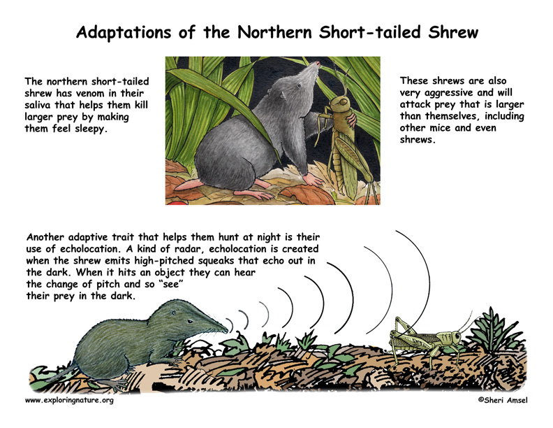 Adaptations of the Short-tailed Shrew -- Exploring Nature ...