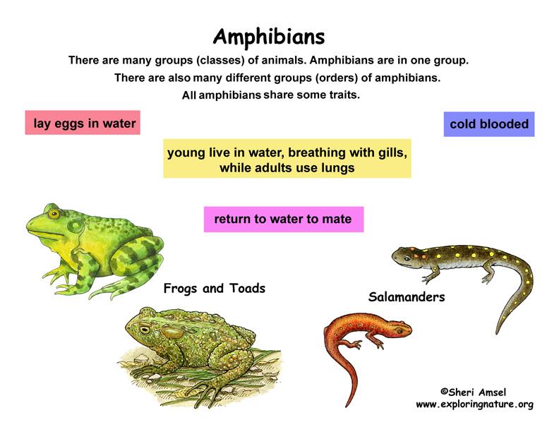 Class - Amphibians (Grade K-3)