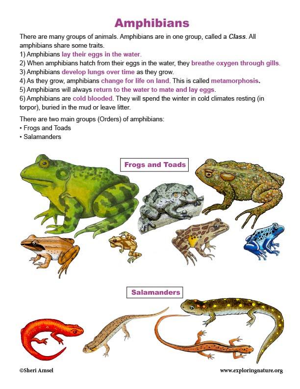 Amphibians traits