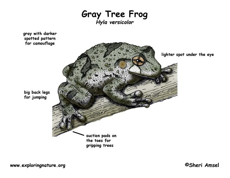 Frog (Gray Tree)