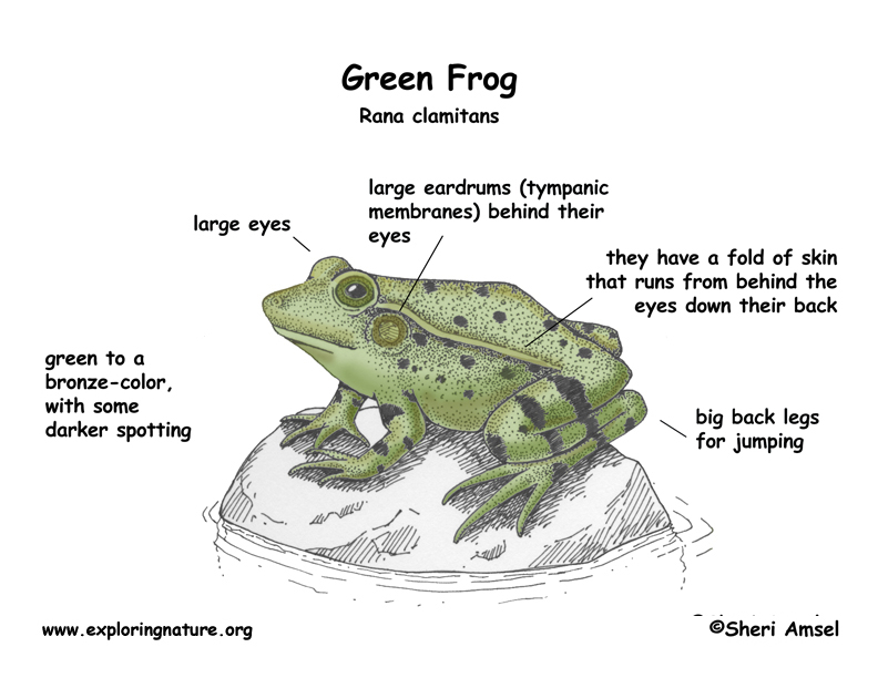 a description of the different types of frog its characteristics and features and where they live They feature multi-modal ways of learning new words, including prompts for  where to use visual  what physical characteristic does the caption describe and  how does this  how do all of these things the frog can do with its feet help it to  survive  page 6 – toad – a kind of frog that is dryer and lives farther from  water.