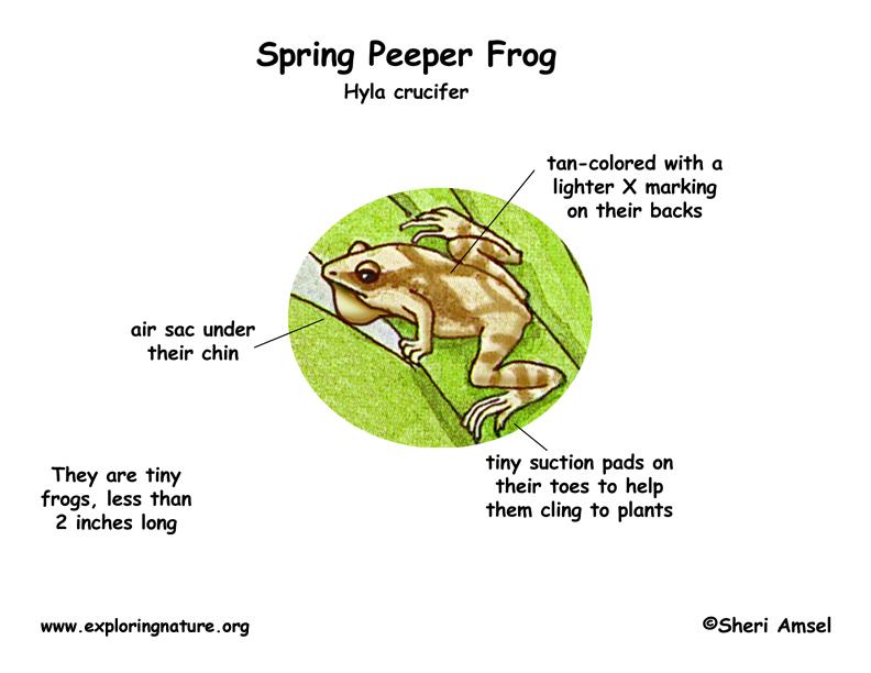 Frog (Spring Peeper)