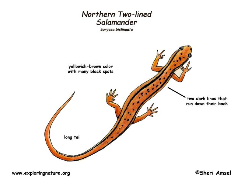 Salamander (Northern Two-lined)