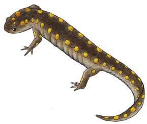 Salamander (Spotted)