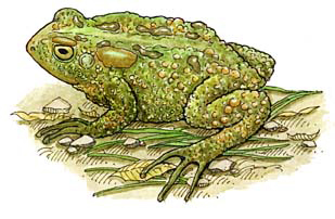 Toad (American)