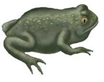 Toad (Great Basin Spadefoot)