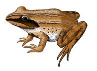 Frog (Wood)