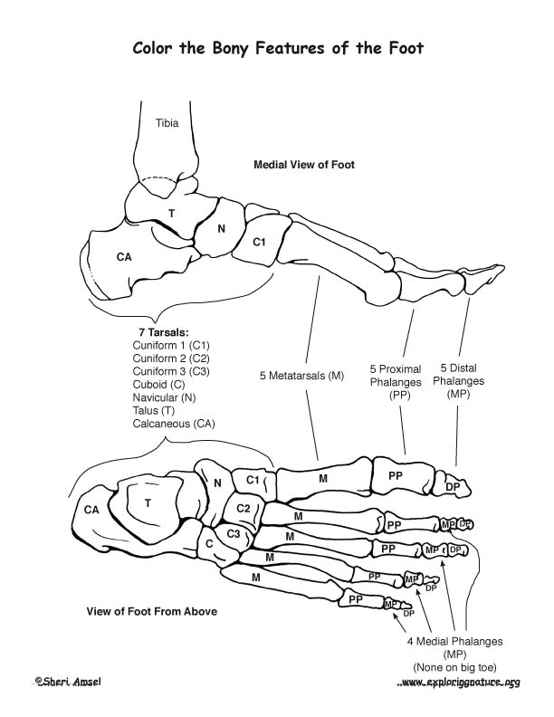 Bones of the Foot Coloting Page