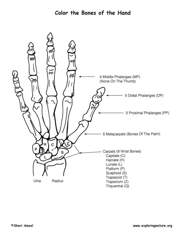 Bones of the Hand Coloring Page