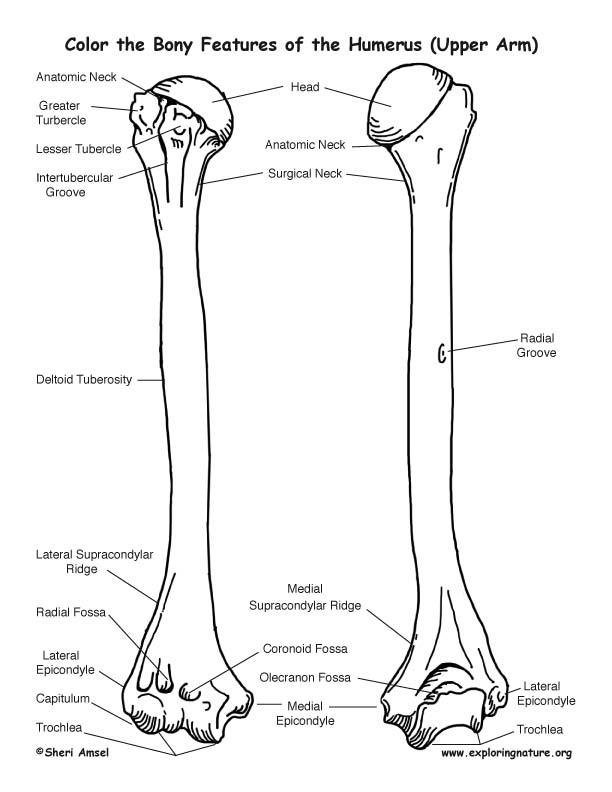 Humerus Boney Features Coloring