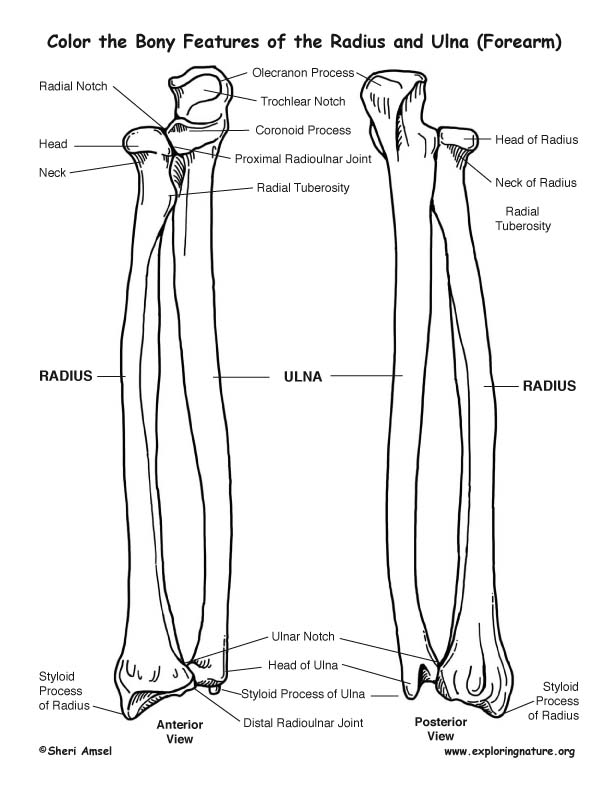 radius and ulna  forearm  bony features coloring page