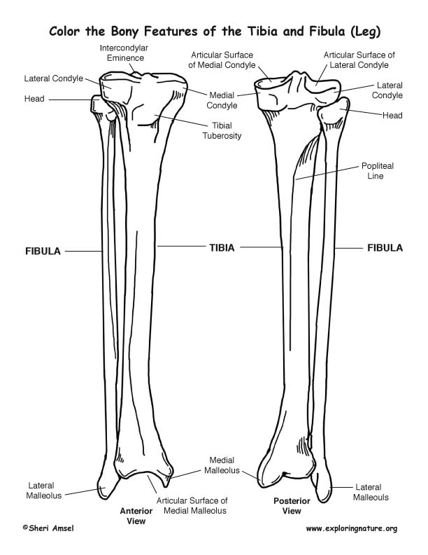 Tibia and Fibula (Calf) Bony Features Coloring Page