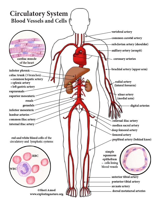 Circulatory System Color Diagram Mini Poster
