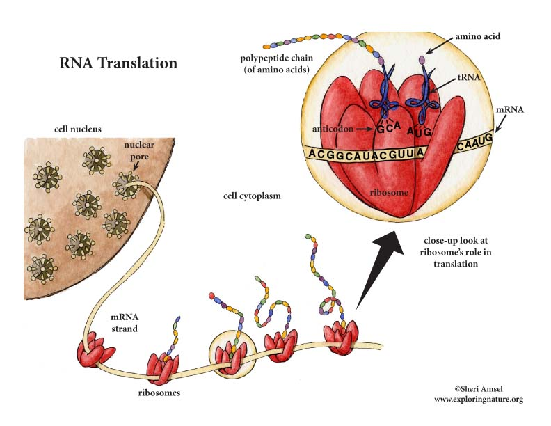 RNA Translation - RNA and the Ribosomes' Role in Protein Synthesis