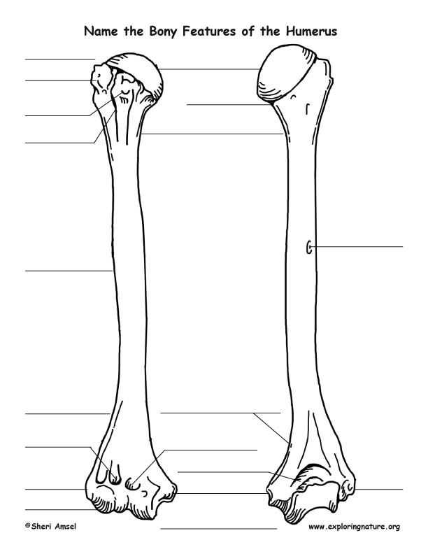 Skeletal System - Bony Features of the Humerus