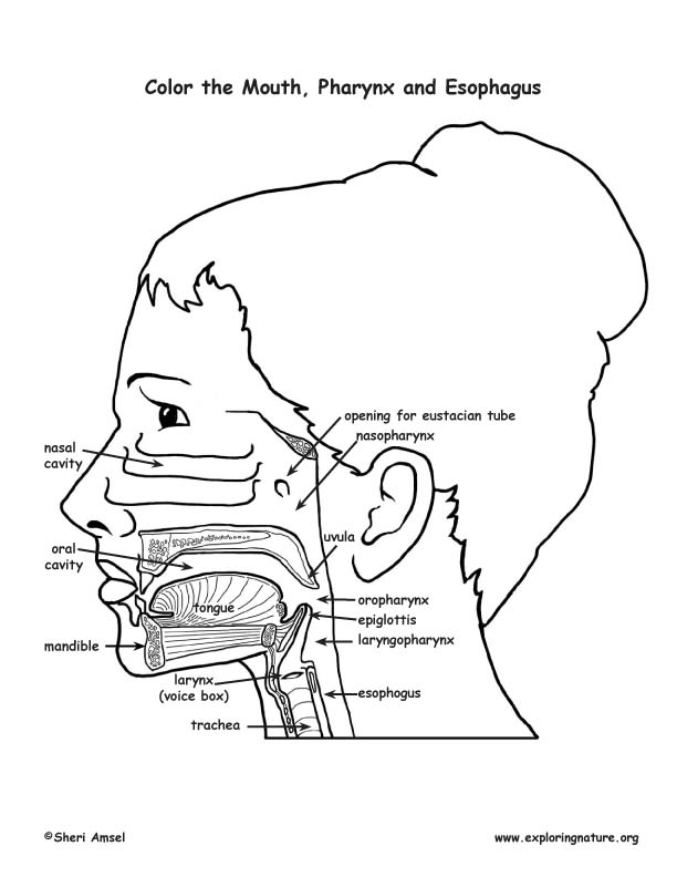 Mouth, Pharynx and Esophagus Coloring Page