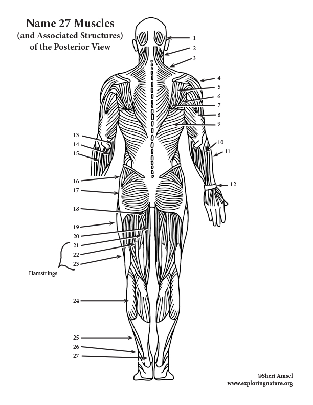 Muscles of the Posterior Body Labeling (HS-Adult)
